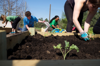 UIS students planting vegetable plants in raised beds at the UIS Community Garden.